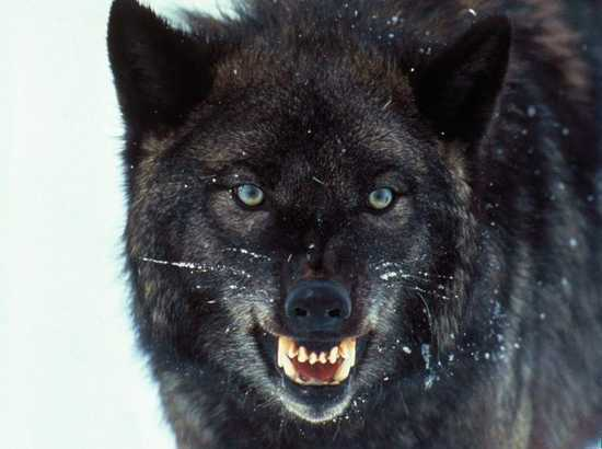 black_wolf-listverse_ltd
